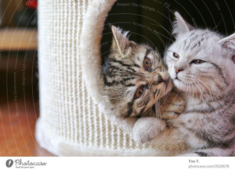 Liebe Geschwister Zusammensein Katze Cat Kater cat Hauskatze Fell Schnurrhaar getigert Farbfoto Tier mietzi Nase Auge Haustier schurrhaare Profil liegen kitten