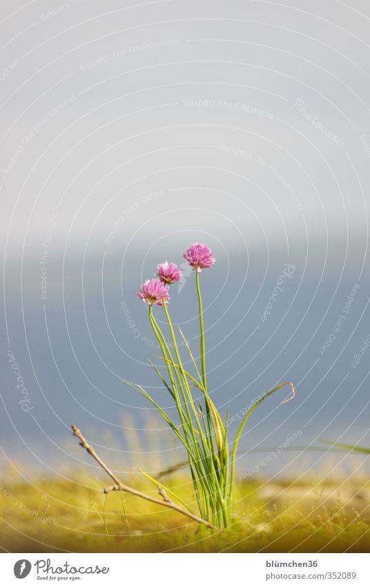 Dem Garten entkommen Lebensmittel Kräuter & Gewürze Ernährung Bioprodukte Vegetarische Ernährung Pflanze Blüte Nutzpflanze Schnittlauch Porree Lauchgemüse