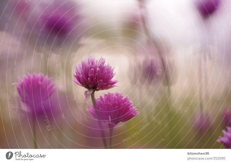 Vom Winde verweht... grün Pflanze Blüte Gesundheit natürlich Lebensmittel Wachstum stehen Ernährung Blühend violett Kräuter & Gewürze Stengel Duft Bioprodukte