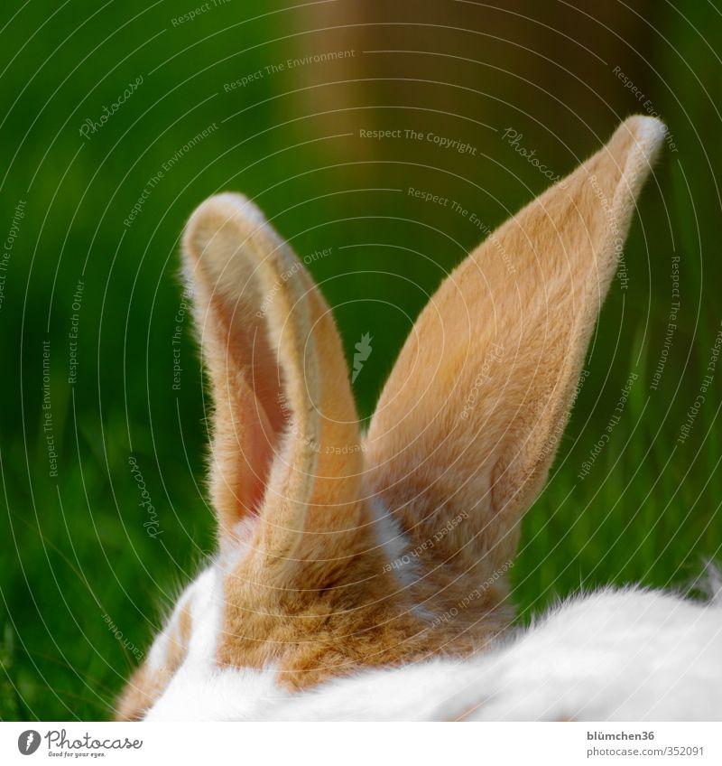 Abhör-Mechanismus Tier Haustier Nutztier Fell Hase & Kaninchen Nagetiere 1 Bewegung hören Kommunizieren kuschlig niedlich weich braun weiß einzigartig Ohr