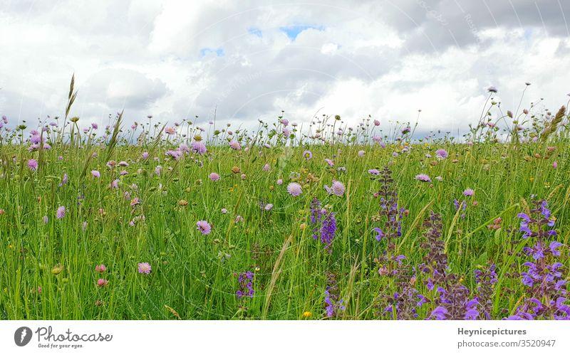 Blumen Wiesenlandschaft mit Gras und Wildblumen bewölkter Himmel Natur Feld Pflanze grün Sommer Frühling Garten purpur Lavendel blau Schönheit schön Blüte rosa
