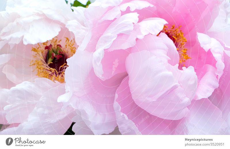 Rosa Pfingstrosenblütenblätter Rosenblüten rosa Blumen Hintergrund rosa Pfingstrosen Blüte Roséwein Blütezeit Schönheit Blütenblatt romantisch Saison Frühling