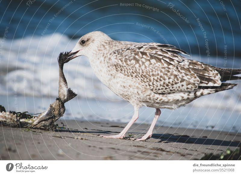 hungrige Möwe Hungrig Fisch Strand Wellen meer ostsee rostock Mecklenburg-Vorpommern Warnemünde Meer Außenaufnahme Küste Vogel Wildvogel Wildtier gefräßig