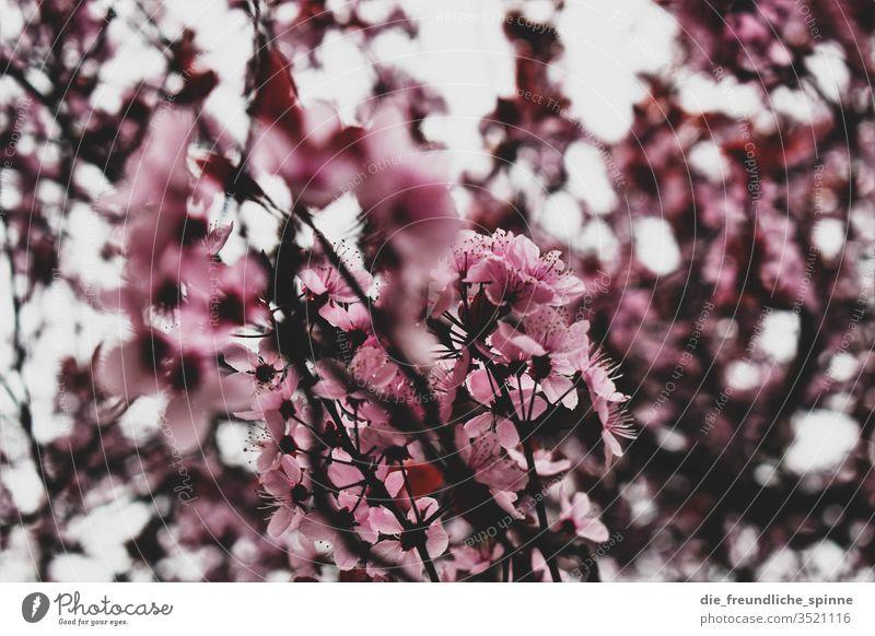 Kirschblüte Kirsche Kirschblüten rosa Frühling Kirschbaum Baum Ast Natur Farbfoto schön Blühend Park Frühlingsgefühle Außenaufnahme Pflanze Blüte Nahaufnahme