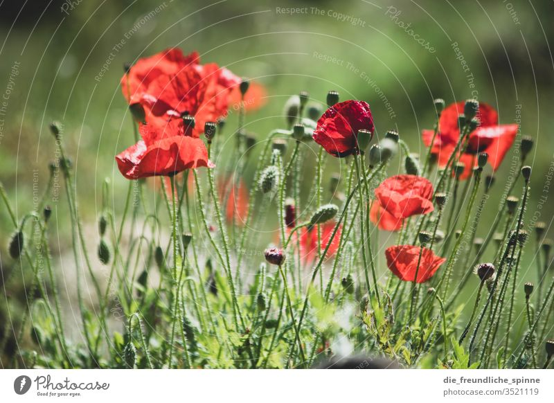 Wildmohn Mohn Mohnblüte Wildpflanze Pflanze Außenaufnahme Natur rot Blume Blüte Wiese Sommer Feld Mohnfeld Umwelt Menschenleer Klatschmohn Landschaft Tag schön