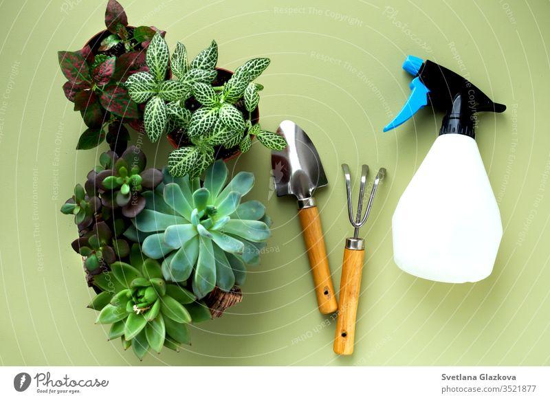 Fittonia,Hypoestes, Sukkulenten, Kaktus. Haus- und Gartenarbeit. Umpflanzen von Blumen im Innengarten. Topfpflanzen zu Hause, Gartenbedarf, Stadtdschungel-Layout.