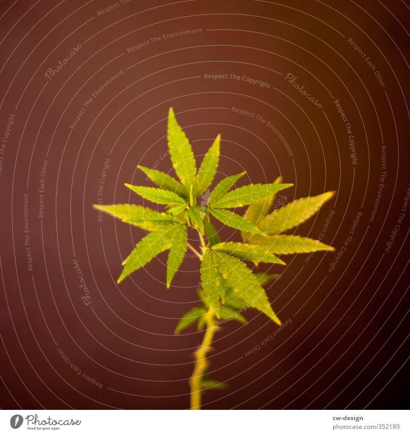 HEUTE: UNABHÄNGIGKEITSTAG Umwelt Natur Pflanze Sommer Gras Hanf Grünpflanze Nutzpflanze Wachstum nachhaltig Spitze braun grün Cannabis Cannabisblatt