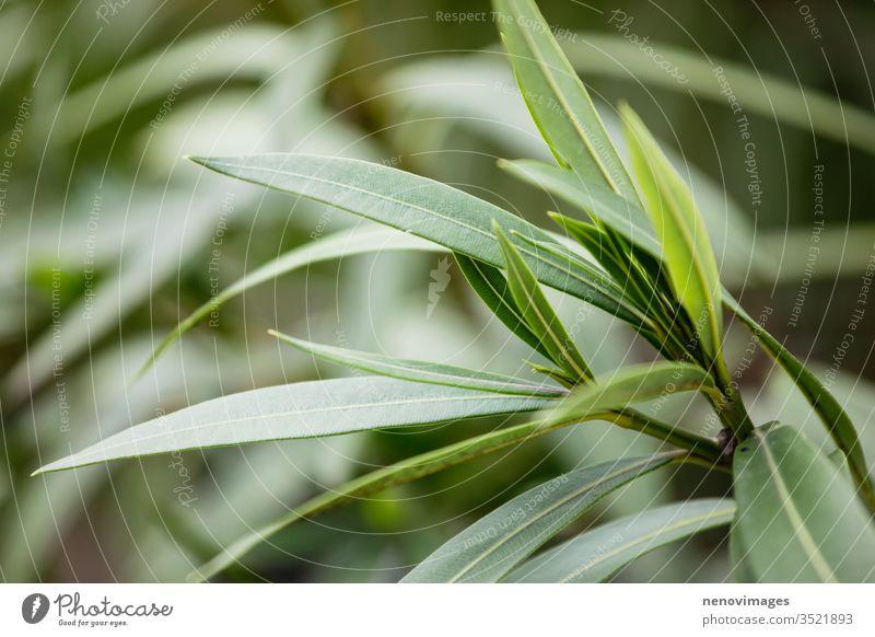 Nerium oleander ist ein Strauch oder kleiner Baum aus der Familie der Hundsdorngewächse (Apocynaceae), der in allen seinen Teilen giftig ist. Nerium-Oleander