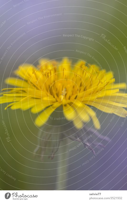 Allerweltsblume | Löwenzahn Pusteblume Blume Blüte Natur Pflanze Frühling Makroaufnahme Farbfoto gelb grün Detailaufnahme Wiese Schwache Tiefenschärfe