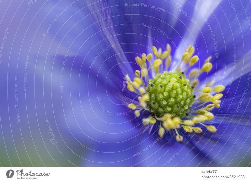 Nahaufnahme einer blauen Anemonenblüte Frühling Balkan-Windröschen Blume Blüte Blühend Makroaufnahme Pflanze Natur Garten Garten-Anemone Unschärfe Farbfoto