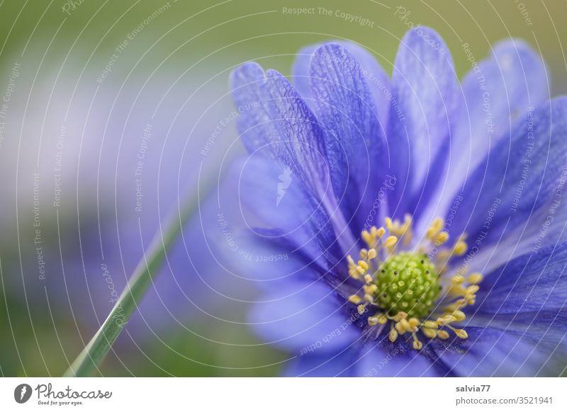 Balkan-Windröschen, blaue Anemonenblüte Natur Pflanze Blüten Blume Gegenlicht blühen Duft Menschenleer Frühling Farbfoto Nahaufnahme Garten Unschärfe