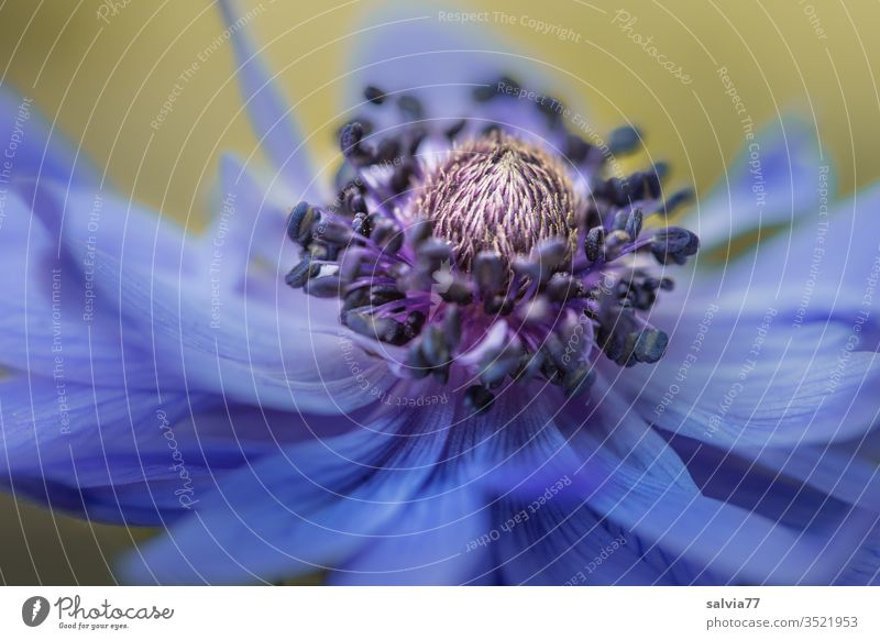 blaue Schönheit | Anemonenblüte Natur Farbfoto Blume Blüte Blühend Makroaufnahme Frühling Schwache Tiefenschärfe Detailaufnahme Pflanze Textfreiraum unten Duft