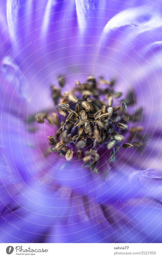 Braunes Gewusel im Inneren einer blauen Anemonenblüte Blume Blüte Natur Pflanze Schwache Tiefenschärfe Nahaufnahme Makroaufnahme schön Blütenblatt Frühling