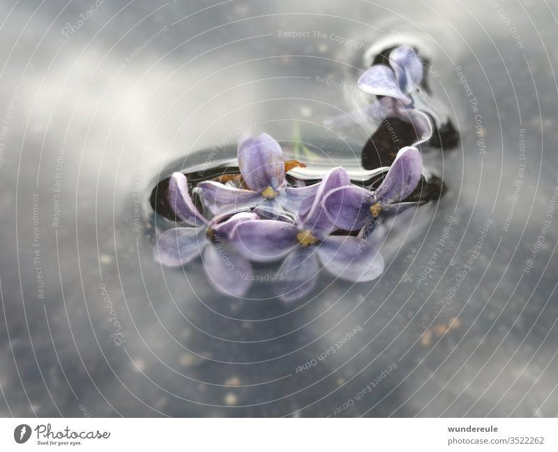 Flieder verzaubert Wasser Natur Nahaufnahme violett Blüte Frühling Detailaufnahme Spiegelung Unschärfe Unterwasser Pflanze Blume Menschenleer