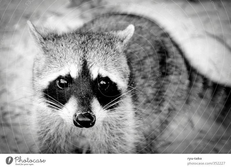 Mapache Tier Wildtier Waschbär 1 beobachten frech Neugier niedlich wild Vertrauen schön weich Schwarzweißfoto Außenaufnahme Menschenleer Textfreiraum rechts