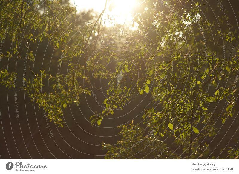 Blätter im Sonnenlicht Natur Pflanze Farbfoto Menschenleer grün Außenaufnahme Tag Umwelt Wald Baum Weide Salix Landschaft Sommer Schönes Wetter Licht Ast Äste