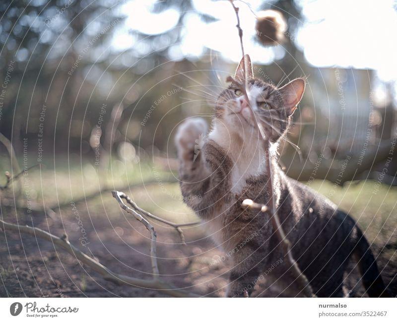 Miau Katze spielen Jäger Fell Haustier Pfote Krallen Tiger Stubentiger natürlich Ohren jagen Mäusefänger schnurrbart Kater