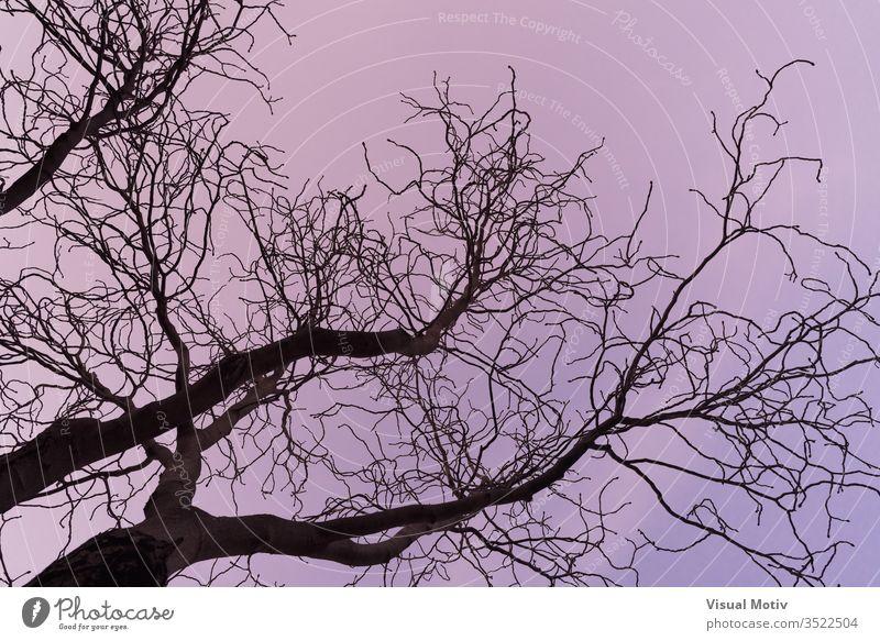 Dunkle Äste eines Aesculus hippocastanum-Baums, allgemein bekannt als Rosskastanie oder Kastanienbaum Niederlassungen Natur natürlich botanisch Botanik Flora