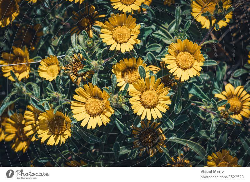 Gelbe Blüten von Asteriscus maritimus, allgemein bekannt als Kompakte Goldmünze oder Mittelmeer-Strandgänseblümchen Asteriskus Blumen Blütezeit botanisch