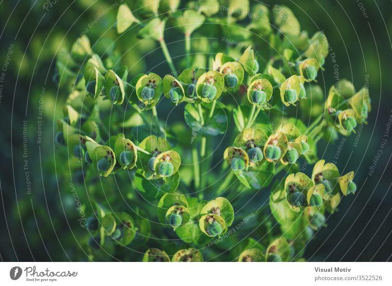 Grüne Blüten der Euphorbia Characias Wulfenii, allgemein bekannt als Mittelmeer-Wolfsmilch Spurge Blumen Blütezeit mediterran botanisch Botanik Feld Flora