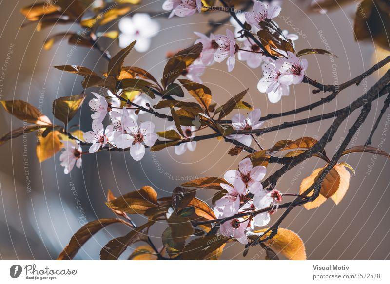 Blüten des Pflaumenbaums, auch bekannt als Prunus cerasifera Pissardii, im zeitigen Frühjahr Blumen Blütezeit botanisch Botanik Feld Flora geblümt Blütenblätter