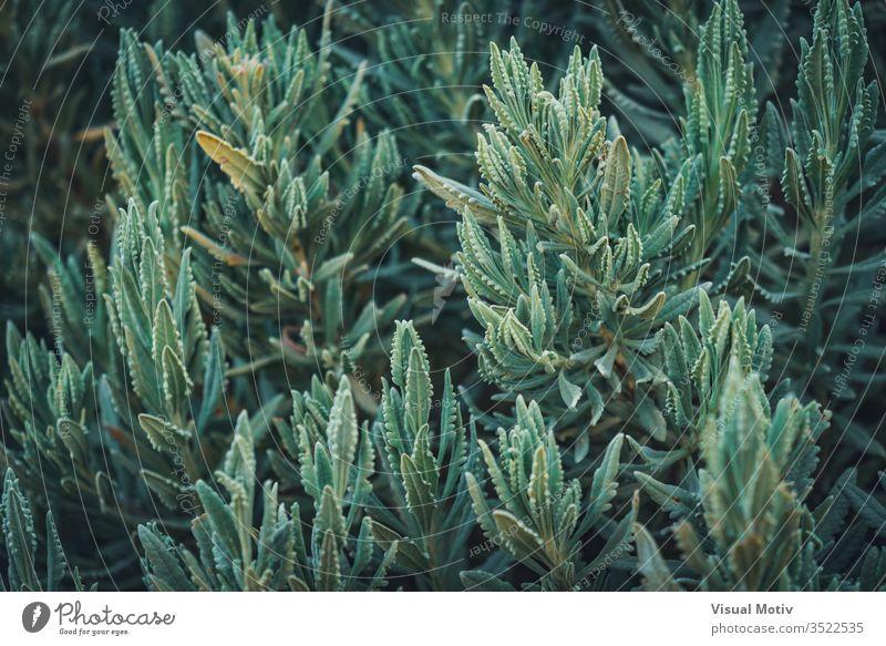 Üppige Zweige von Lavandula Heterophylla, allgemein bekannt als Süßer Lavendel Natur natürlich Pflanzen Blätter Park Garten botanisch Botanik grün Flora