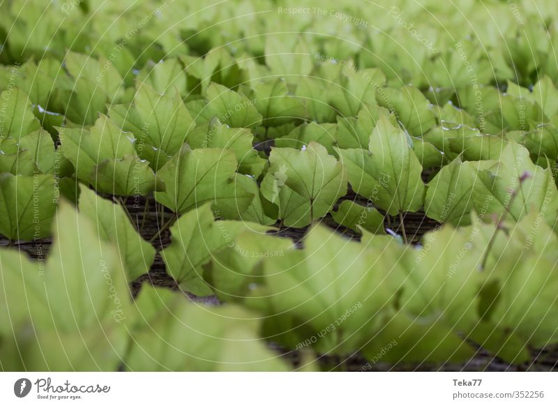E f eu Natur grün Pflanze Blatt Umwelt Garten Klima Grünpflanze Efeu