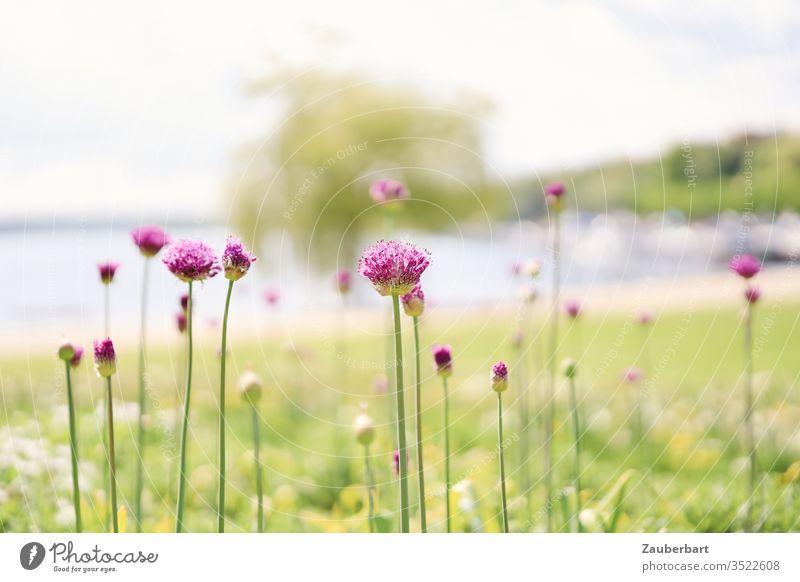 Lila Lauchblüten auf grüner Wiese vor der Bucht eines Sees in der Sonne lila Stengel grazil Wasser Frühling Natur Blüte Pflanze Sommer high key schwebend