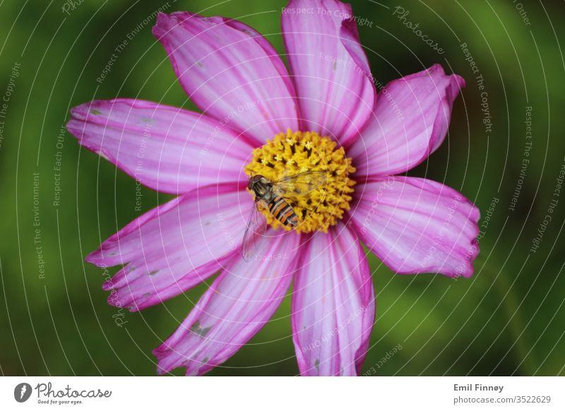 Biene auf Blume purpur sorgsam Nutztier Pollen Nektar bestäuben Frühlingsgefühle Hintergrund neutral Tier Umwelt Honigbiene Insekt Garten Duft Blühend Natur