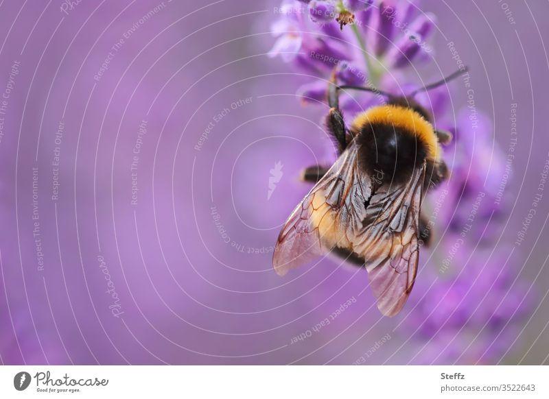 Hummel liebt Lavendel lila blühender Lavendel Lavendelduft Lavendelblüte Lavendelblume violett Duft Sommergefühl Biene Insektenflügel nützlich Juni Idylle Juli