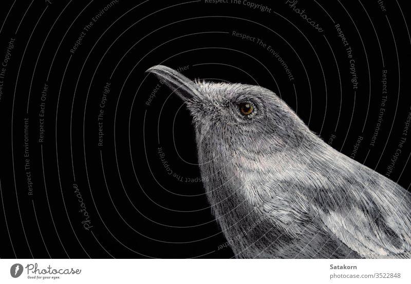 Orientalische Elsterrobin Mit weißer Tinte und Buntstift auf schwarzem Papier gemalt Rotkehlchen Grafik u. Illustration Vogel Hand gezeichnet Natur Hintergrund