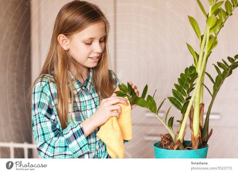 Das Mädchen wischt den Staub von den grünen Blättern der Zimmerpflanze ab. Pflege von Zimmerpflanzen. Spray Wasser schön Kind Fenster Flasche Gartenarbeit Natur