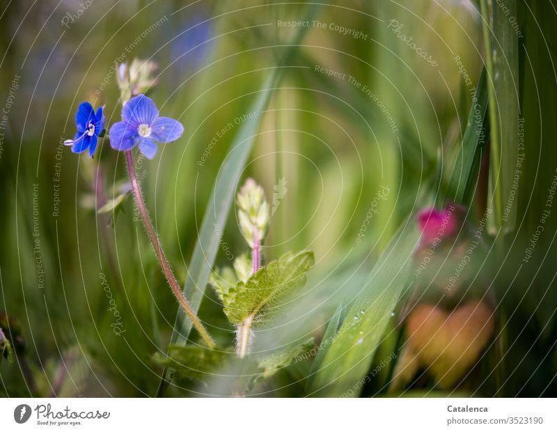 Ein blaues, kleines Blümchen blüht im hohem Gras einer Wiese Natur Pflanze Blume Blüte Veronica Blühend Wachstum Sommer Grashalme blaues Blümchen Fröhlichkeit