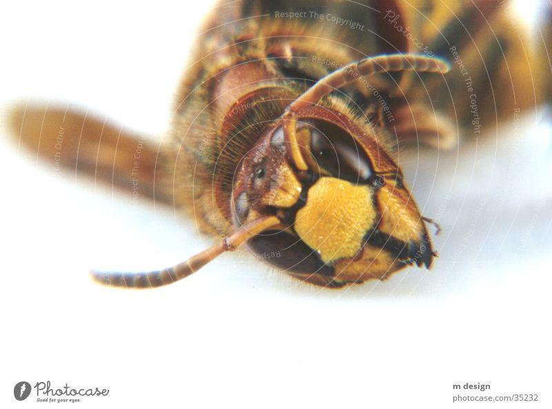 Faszinierende Tierwelt Natur Auge Biene Fühler Monster Hornissen