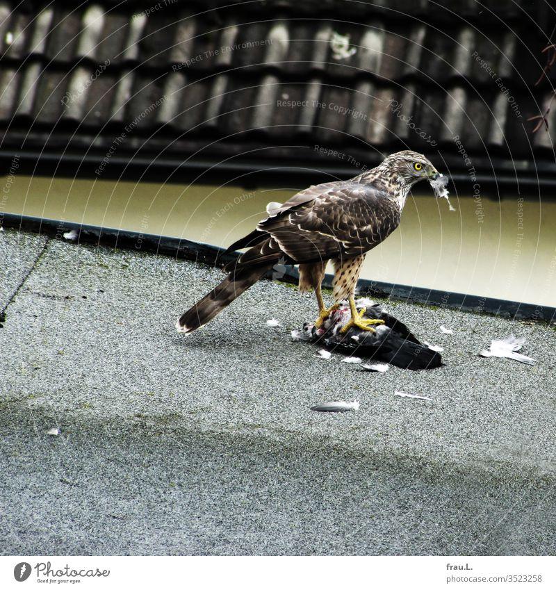 Der Greifvogel hatte die Taube auf dem Dach geschlagen, nun rupft er das Opfer für seine Brut. Greifvögel Feder Habicht Sperber töten rupfen Stadt Brutzeit