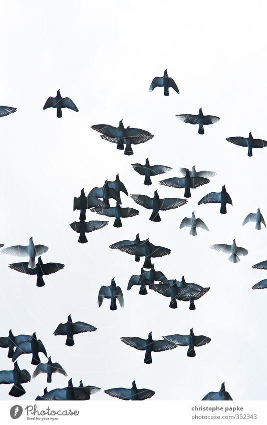 Die Vögel Tier Vogel Tiergruppe Schwarm fliegen bedrohlich frei Bewegung Taube Flügel Spannweite Farbfoto Gedeckte Farben Außenaufnahme Menschenleer