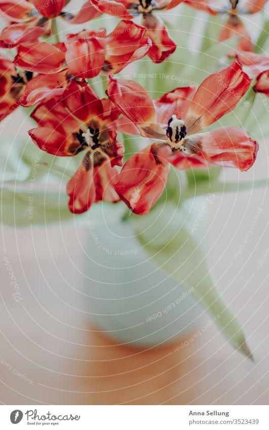 Tulpen mal anders Tulpenblüte Blume Farbfoto Pflanze rot Frühling Blüte Natur Tag Menschenleer Innenaufnahme Blumenstrauß Blühend vertrocknet verdorrt Schönheit