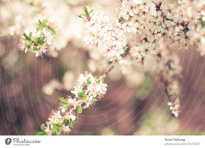 Leichte Frühlingsblüten zart und weich Frühlingsblume Frühlingsgefühle Blühend natürlich Menschenleer Außenaufnahme Blüte schön grün Blume Pflanze Natur Tag