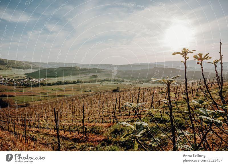 Weinberg in der Abenddämmerung Weinbau Himmel Nutzpflanze Landschaft Natur Farbfoto Weintrauben grün Menschenleer Pflanze Außenaufnahme Wachstum Feld