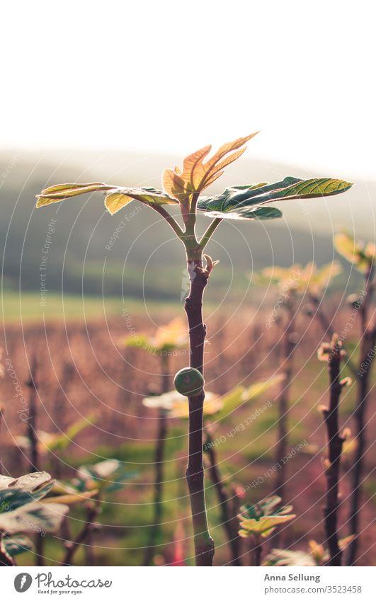 Kleine Feigenpalme Frucht Lebensmittel Farbfoto frisch Menschenleer Bioprodukte süß Gesunde Ernährung natürlich Frühling Abenddämmerung saftig lecker wachsen