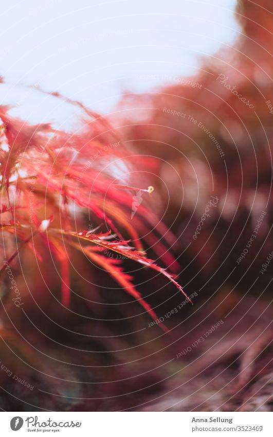 Roter Ahorn im Licht rot Außenaufnahme Farbfoto Japanischer Ahorn Ahornblatt Sonnenlicht Menschenleer Natur Garten Frühling Schwache Tiefenschärfe Gegenlicht