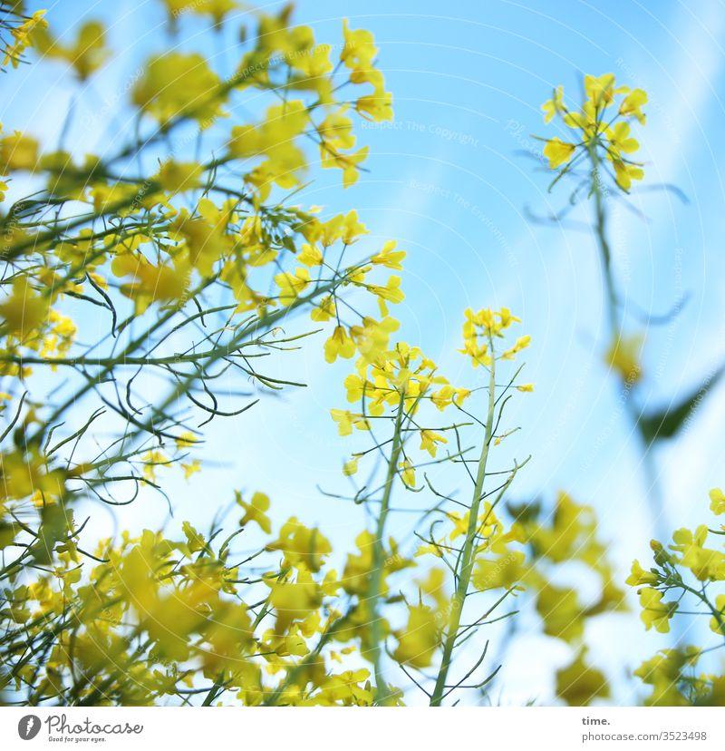 Tänzerin und geneigtes Publikum raps rapsfeld rapsblüte leben lebending himmel gelb blau tanz frisch frühling luftig wild landwirtschaft perspektive