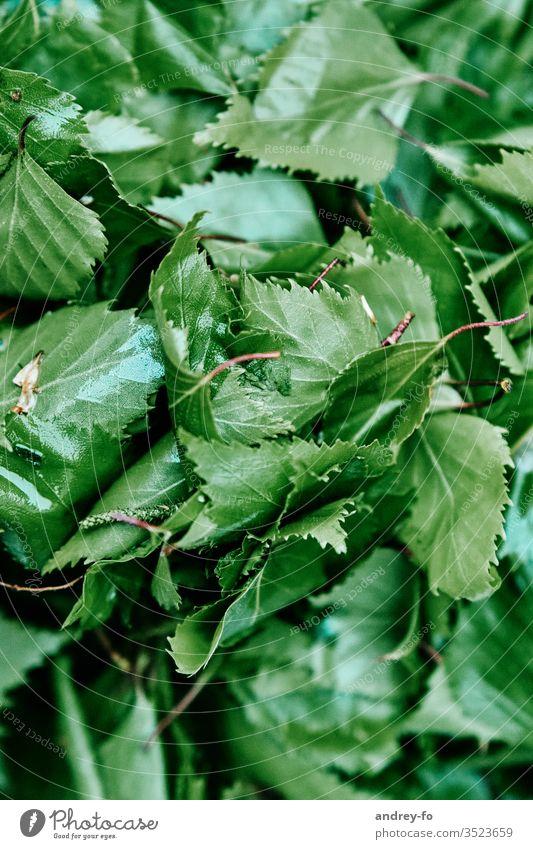 Birkenblätter Blatt grün Pflanze Natur Außenaufnahme Baum Detailaufnahme