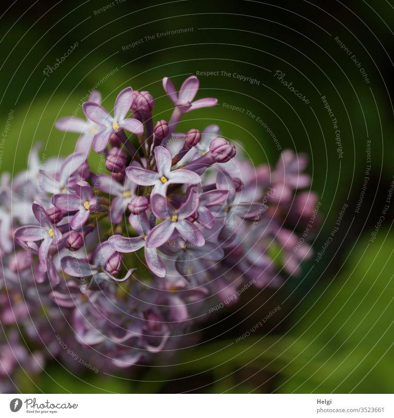 Nahaufnahme einer violetten Fliederblüte vor grünem Hintergrund Blüte Strauch Frühling Natur Pflanze Farbfoto Menschenleer Schwache Tiefenschärfe Garten