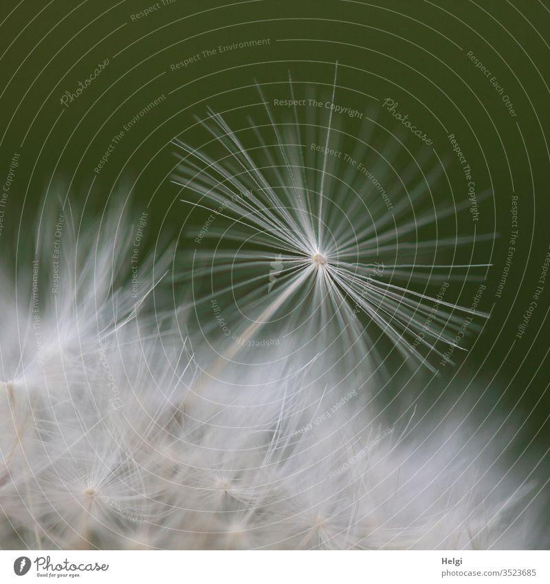 Macroaufnahme eines filigranen Löwenzahnschirmchens Pusteblume Samen Schirmchen Pflanze Natur Makroaufnahme Frühling Außenaufnahme Detailaufnahme Farbfoto weiß