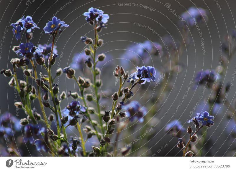 vergißmeinnicht oder vergissmichnicht Vergißmeinnicht Vergißmeinnichtblüte Vergissmeinicht Blüte Blühend Frühling blau Schwache Tiefenschärfe Blume Pflanze