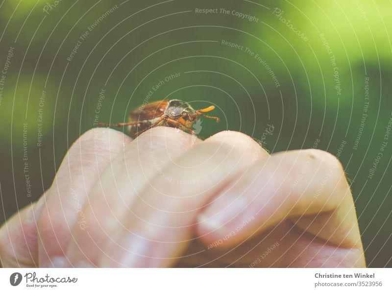 Ein Maikäfer / Melolontha krabbelt über die Hand einer Frau Käfer Neutraler Hintergrund grün braun Natur Naturliebe Umwelt Frühling Tier 1 Tier Farbfoto Insekt
