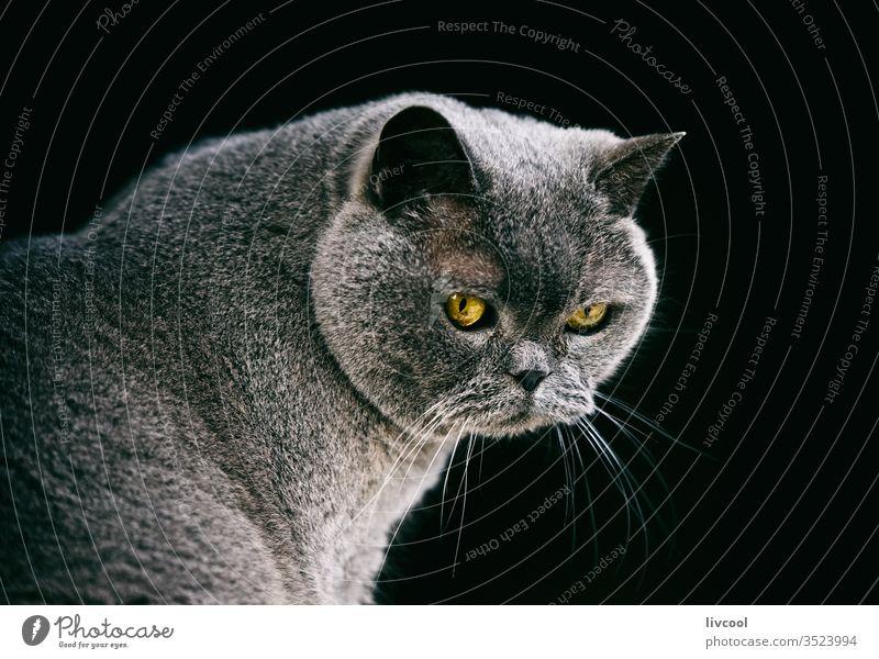 die britische Kurzhaarkatze Katze Britisch Kurzhaar Haustier Tier grau graue Katze niedlich Säugetier britisch Blau gelbe Augen Posen Porträt Katzenbaby