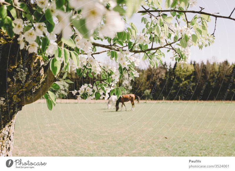 2 Pferde auf der Weide mit Kirschblüte im Vordergrund pferde weide kirschblüte natur reiten grasen kirschbaum schimmel rappe Tier Reiten Natur Fressen Schimmel