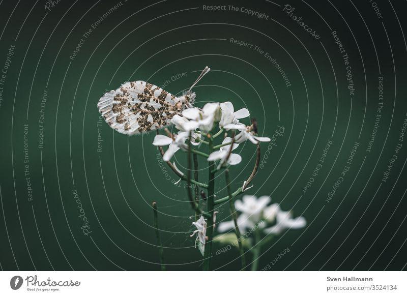 Schmetterling auf Blume Sommer Nahaufnahme grün Tier Natur Insekt Blüte Garten Kontrast Farbfoto Hintergrund neutral Zentralperspektive Textfreiraum oben